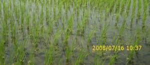Biomassstraw0301